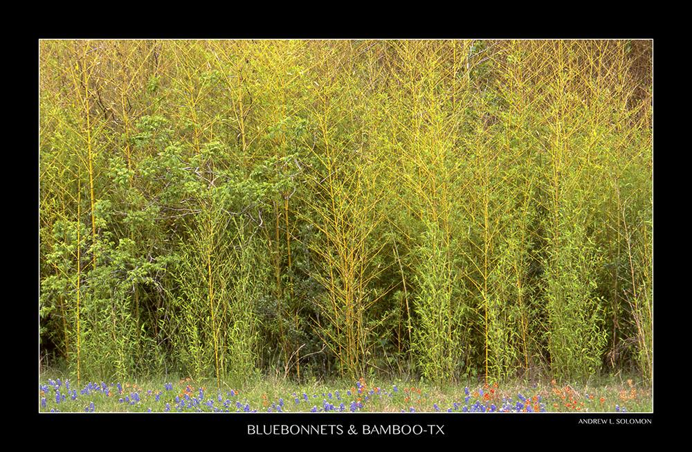 BLUEBONNETS & BAMBOO
