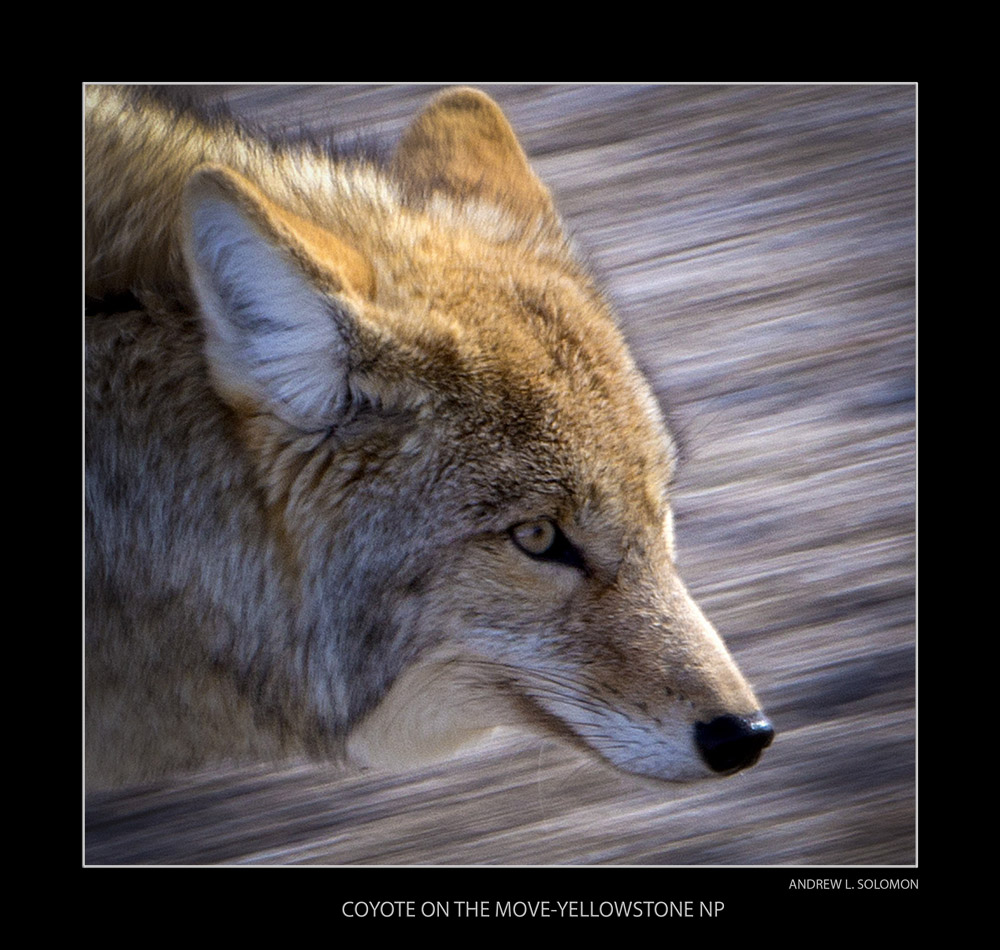 COYOTE MOVING